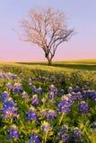 Bluebonnet полевого цветка в Техасе стоковые фотографии rf
