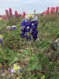 Bluebonnet Техаса Стоковое Фото