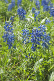 Bluebonnet Stockbilder