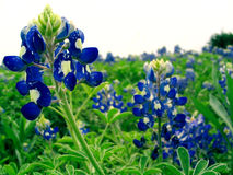 Bluebonnet Stockbild