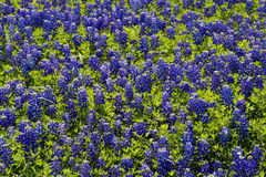 Bluebonnet background Royalty Free Stock Photos