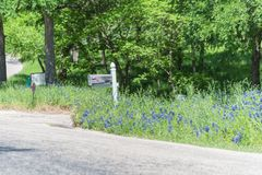 Bluebonnet blooming near mailbox of country house in Texas, America royalty free stock image