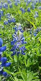 Bluebonnet-Blume Lizenzfreie Stockfotografie