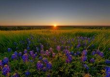 Bluebonnet-Blumen in Ennis Lizenzfreies Stockbild