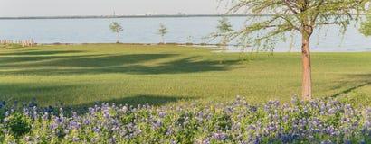 Bluebonnet da flor de estado de Texas da vista panorâmica que floresce perto do lago na primavera imagens de stock