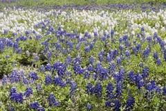 Bluebonnet de Tejas Fotografía de archivo