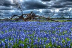 Bluebonnet drzewo Zdjęcia Royalty Free