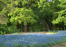 Bluebonnet Field. Field of Bluebonnets in Texas Royalty Free Stock Photos