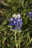 BlueBonnet Stock Images