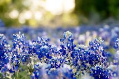 Bluebonnet field at sunset. Bluebonnet field in central texas, with blurred background royalty free stock photos