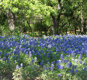 Bluebonnet Fields Royalty Free Stock Photos