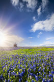Bluebonnet Fields in Palmer, TX Royalty Free Stock Images
