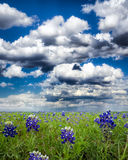 Bluebonnet Fields in Texas Royalty Free Stock Image