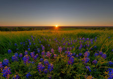 Bluebonnet Flowers in Ennis. Texas, USA royalty free stock image