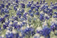 Bluebonnet Flowers Up Close. Bluebonnet flowers growing in a field in Springtime Royalty Free Stock Photo