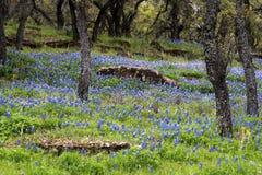 Bluebonnet gef?llte Wiese im H?gel-Land von Texas stockfotos
