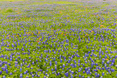 Bluebonnet and indian paintbrush field in Ennis, Texas. Stock Photos