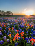 Bluebonnet and Indian paintbrush wildflowers filed, Texas. Bluebonnet and Indian paintbrush wildflowers filed in Ennis, Texas royalty free stock image