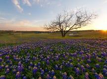Bluebonnet kwitnie kwitnienie w Irving, Teksas fotografia stock