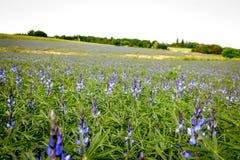 Bluebonnet - Lupine field stock photo