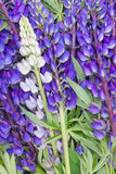 Bluebonnet lupine floral background Stock Photos