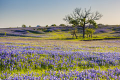 Bluebonnet or Lupine wildflowers filed in Ennis Texas Stock Photo