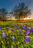 Bluebonnet or Lupine wildflowers filed at sunset Royalty Free Stock Image