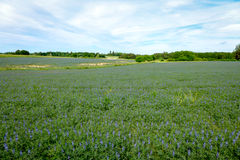 Bluebonnet - Lupinefeld lizenzfreie stockfotos