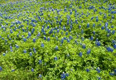 Bluebonnet lupinus texensis 6. A field of Lupinus texensis commonly known as the Texas Bluebonnet, the state flower of Texas stock image