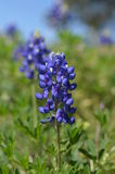 Bluebonnet (Lupinus texensis) Stock Photo