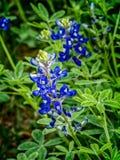 Bluebonnet nel Texas Fotografia Stock Libera da Diritti