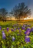 Bluebonnet oder Lupine Wildflowers archiviert bei Sonnenuntergang lizenzfreies stockbild