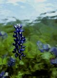 Bluebonnet Painterly Immagini Stock