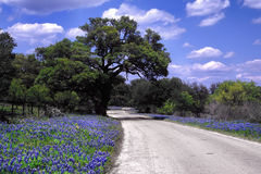 Bluebonnet Road. Rural road lined with wild bluebonnets Royalty Free Stock Images