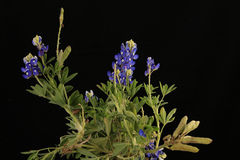Bluebonnet Seeds Royalty Free Stock Photos