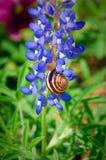 Bluebonnet & Snail. Snail climbing bluebonnet Stock Photos