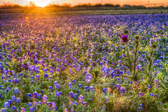 Bluebonnet Sunrise in the Texas Hill Country Stock Images