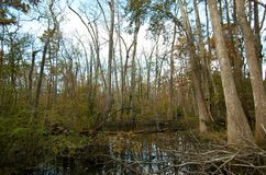 Bluebonnet Swamp during the fall. Trees at bluebonnet Swamp during the fall, Baton Rouge, Louisiana, USA royalty free stock photos