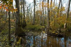 Bluebonnet Swamp during the fall. Trees at bluebonnet Swamp during the fall, Baton Rouge, Louisiana, USA stock photography