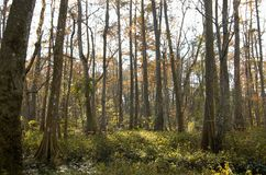Bluebonnet Swamp during the fall. Trees at bluebonnet Swamp during the fall, Baton Rouge, Louisiana, USA royalty free stock photography