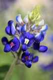 bluebonnet texas Royaltyfria Foton