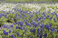 bluebonnet Texas Fotografia Stock