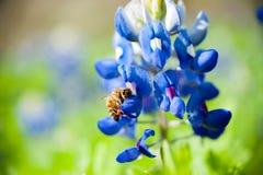 Bluebonnet y abeja Fotografía de archivo