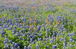 Bluebonnetbloemen die in Irving, Texas bloeien stock afbeeldingen