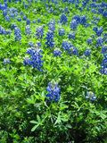Bluebonnetfält på en hård solig dag royaltyfria foton