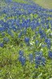 Bluebonnetfeld Stockbilder
