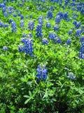 Bluebonnetfeld an einem rauen, sonnigen Tag lizenzfreie stockfotos