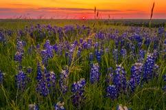 Bluebonnets στο ηλιοβασίλεμα κοντά σε Ennis, TX στοκ φωτογραφία με δικαίωμα ελεύθερης χρήσης
