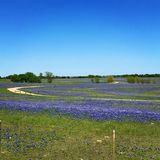 Bluebonnets Техаса Стоковая Фотография RF