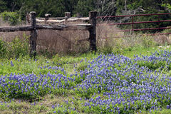 Bluebonnets Техаса Стоковая Фотография